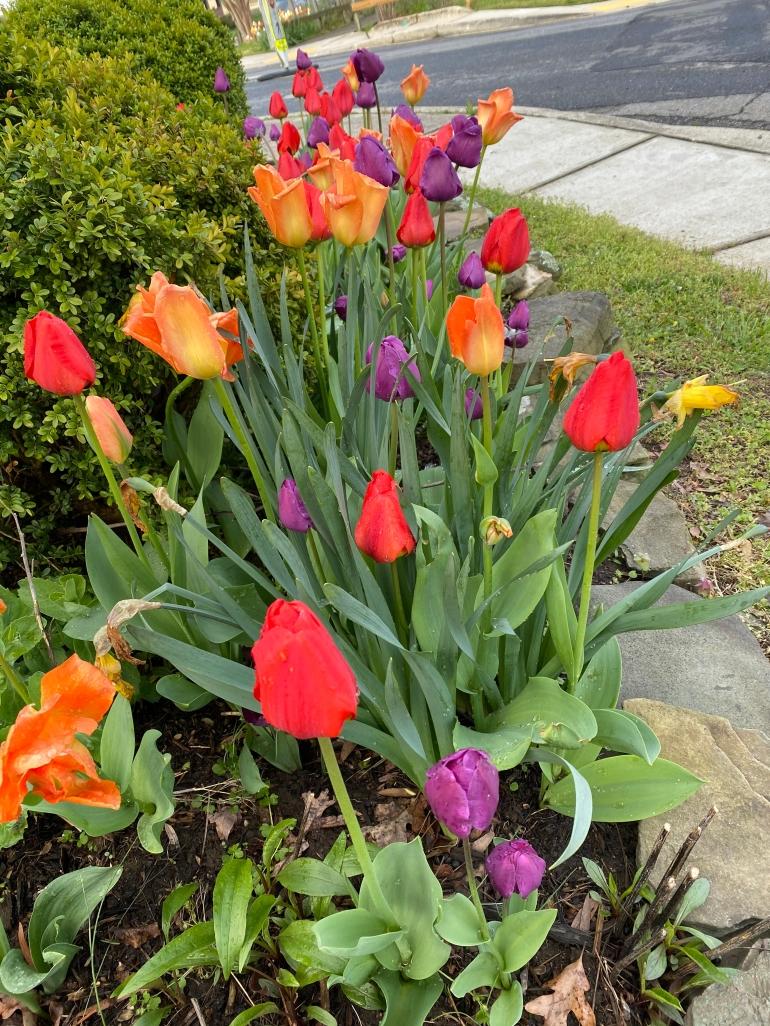 Tulip bed 4_15_8