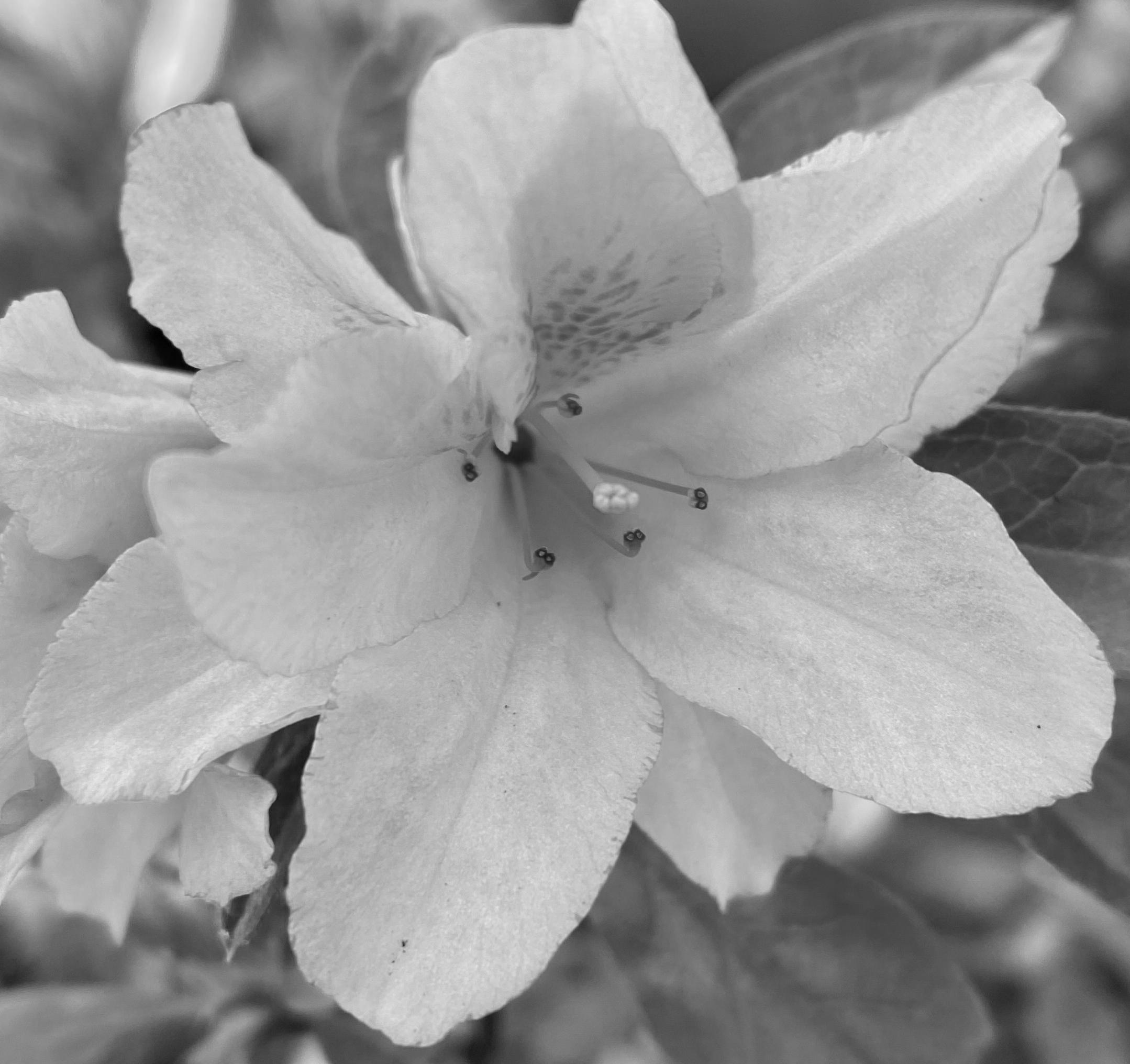 Blossom 6 bw