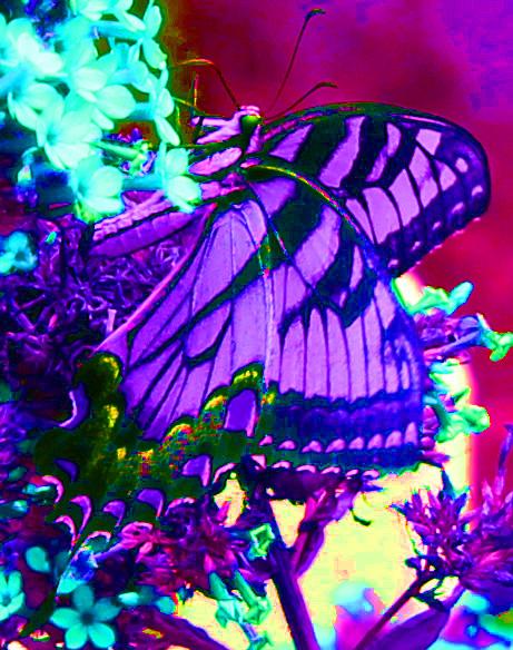 Butterfly Superstar 6 psych
