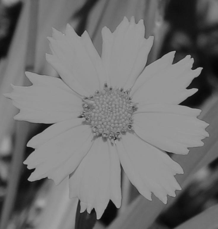 Daisy 5_15_1 bw