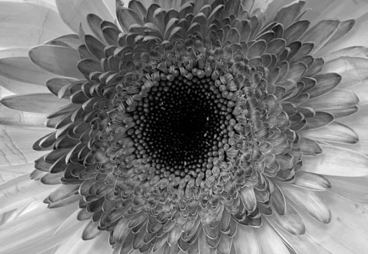 Daisy 5_1_1 bw
