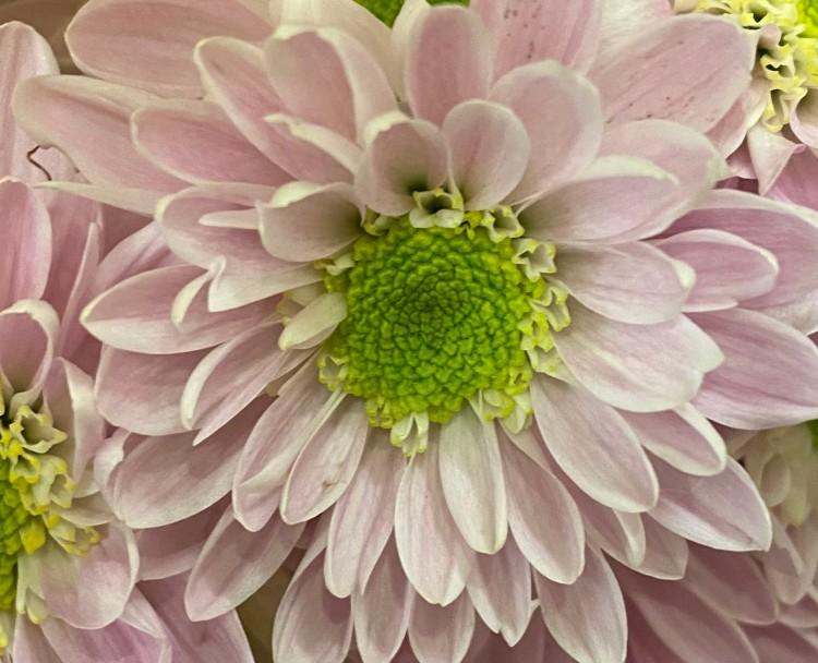 Daisy 5_20_4 crop