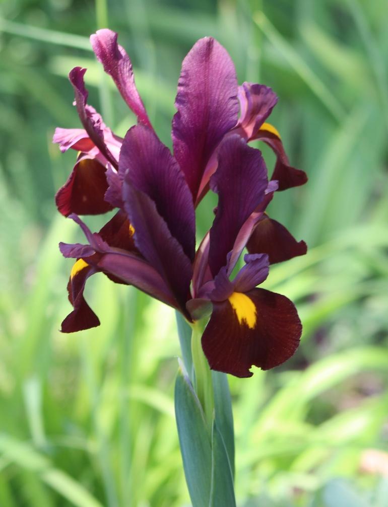 Iris 5_15_3