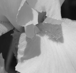Iris 5_15_5 bw