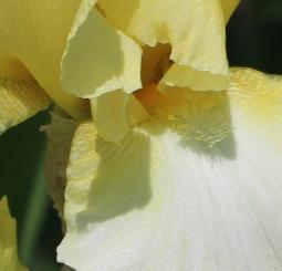 Iris 5_15_5 crop