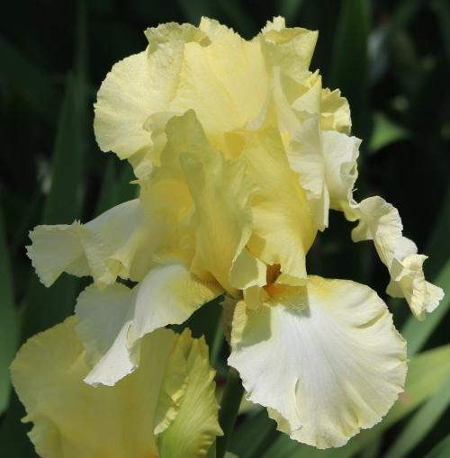 Iris 5_15_5