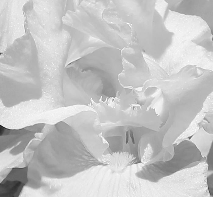 Iris 5_15_7 BW