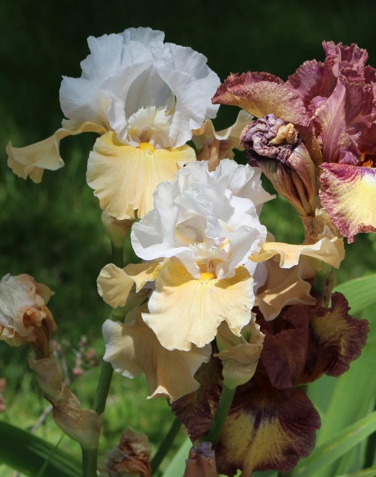 Iris 5_15_7