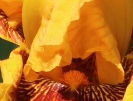 Iris 5_15_9 crop