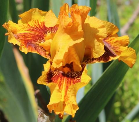 Iris 5_15_9
