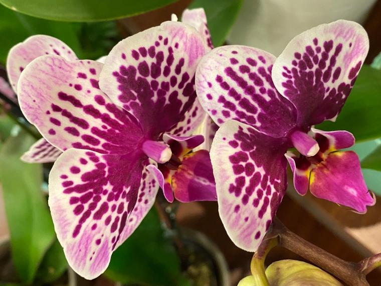 Orchid Folie a Deux
