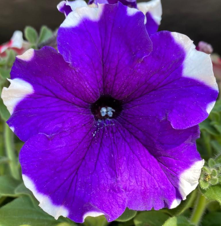 Petunia 5_7_5
