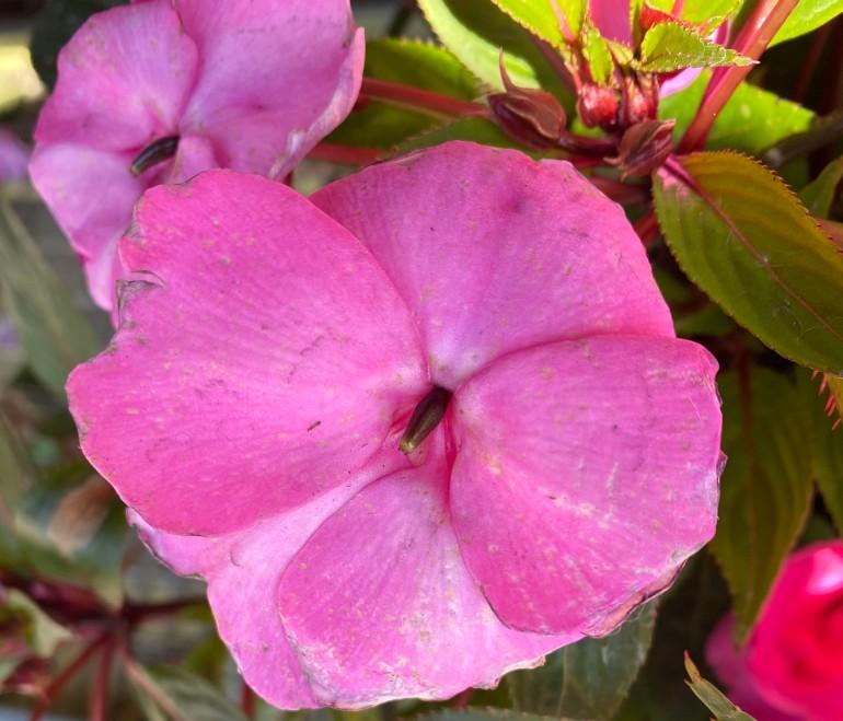 Pink 5_7_4