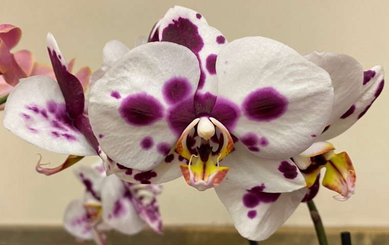 Pink Orchid 5_1_6