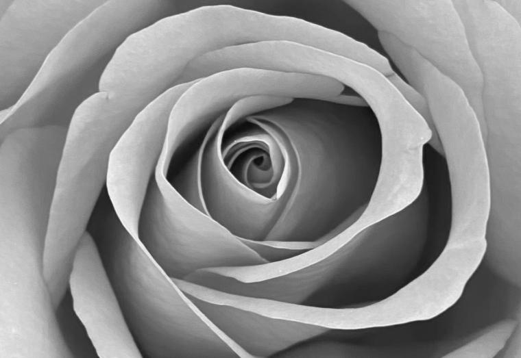 Rose 5_10_2 bw