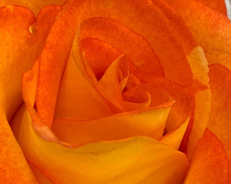 Rose 5_10_3 crop