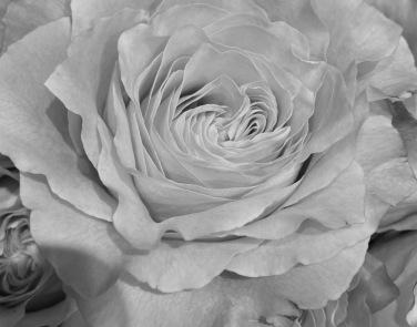 Rose 5_26_1 bw