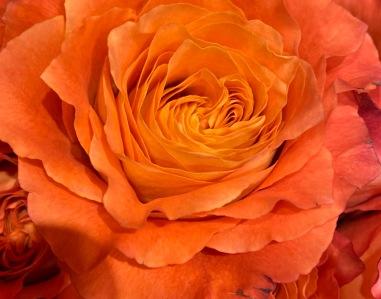 Rose 5_26_1