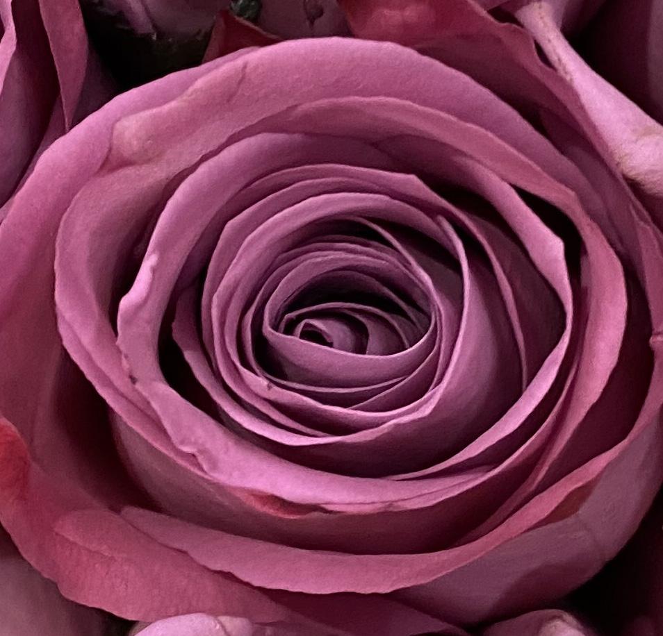 Rose 5_26_7 MACRO