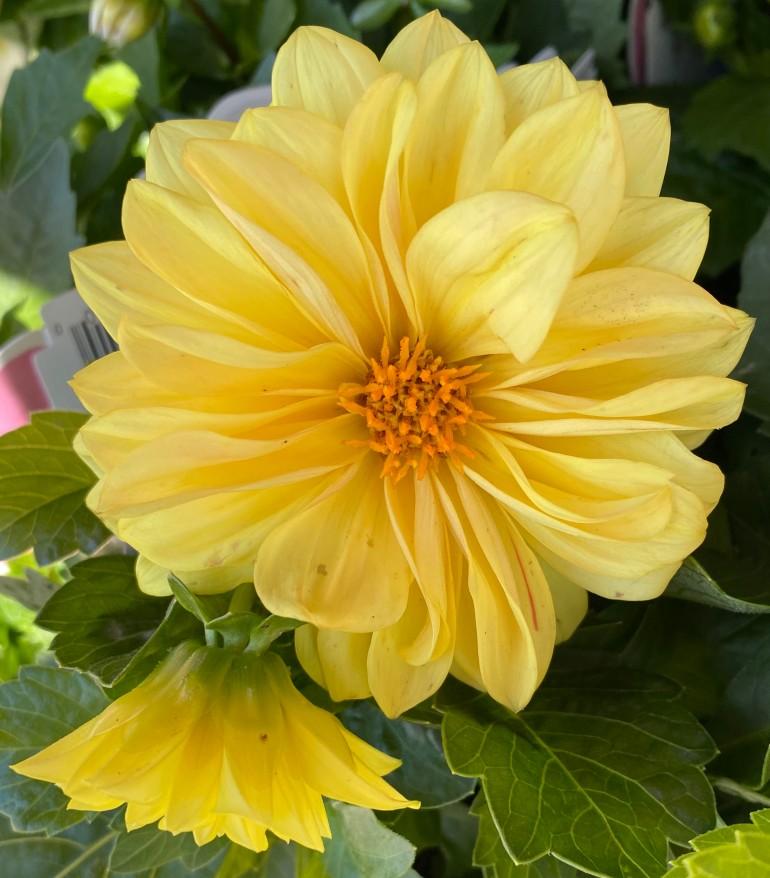 Yellow 5_7_8
