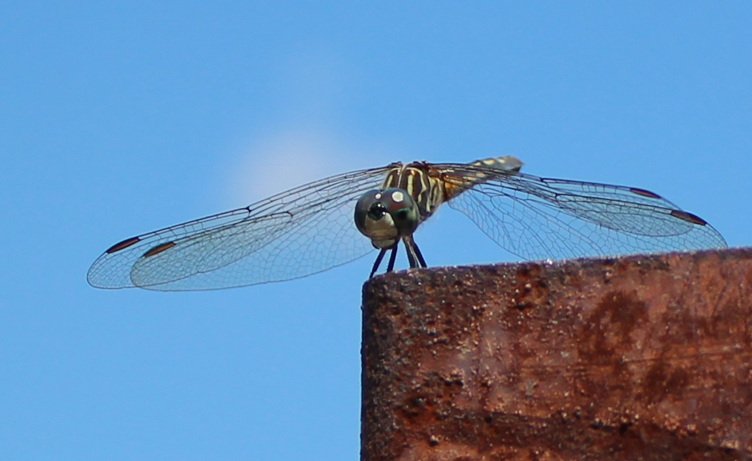 Dragonfly 8_18_1