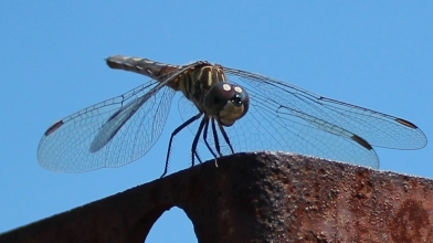 Dragonfly 8_18_2